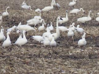Ross's Goose, ML85682981