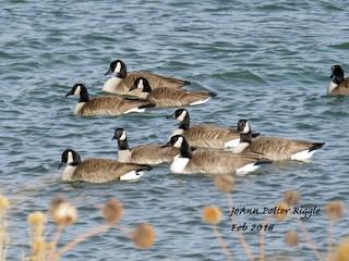 Canada Goose, ML85704801