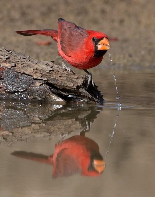 Male Northern Cardinal drinking.