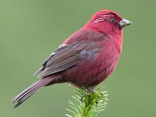 - Taiwan Rosefinch