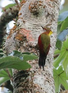 - Checker-throated Woodpecker