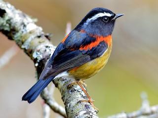 - Collared Bush-Robin