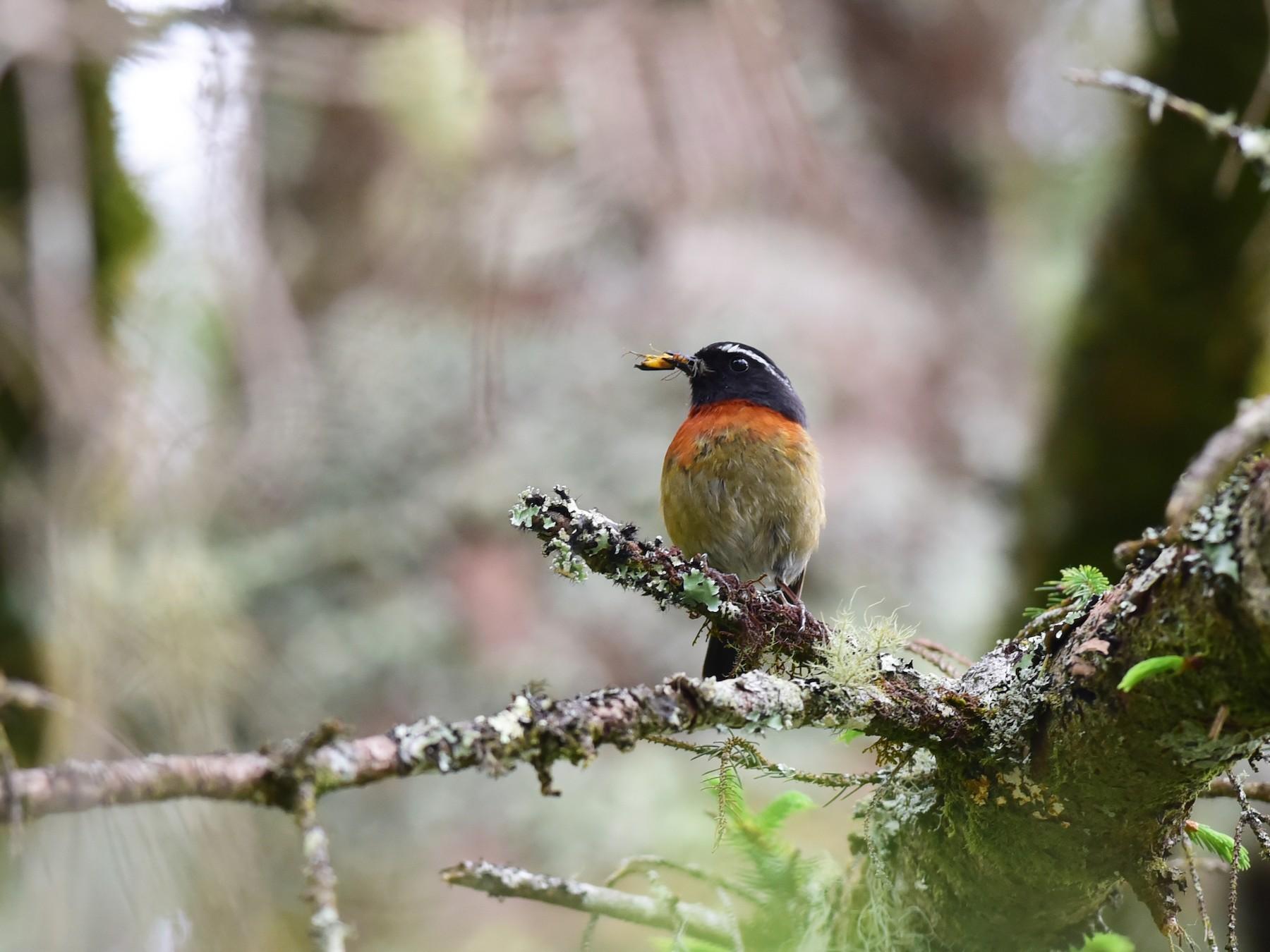 Collared Bush-Robin - Da Chih Chen