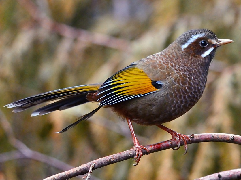 White-whiskered Laughingthrush - Jerry Ting