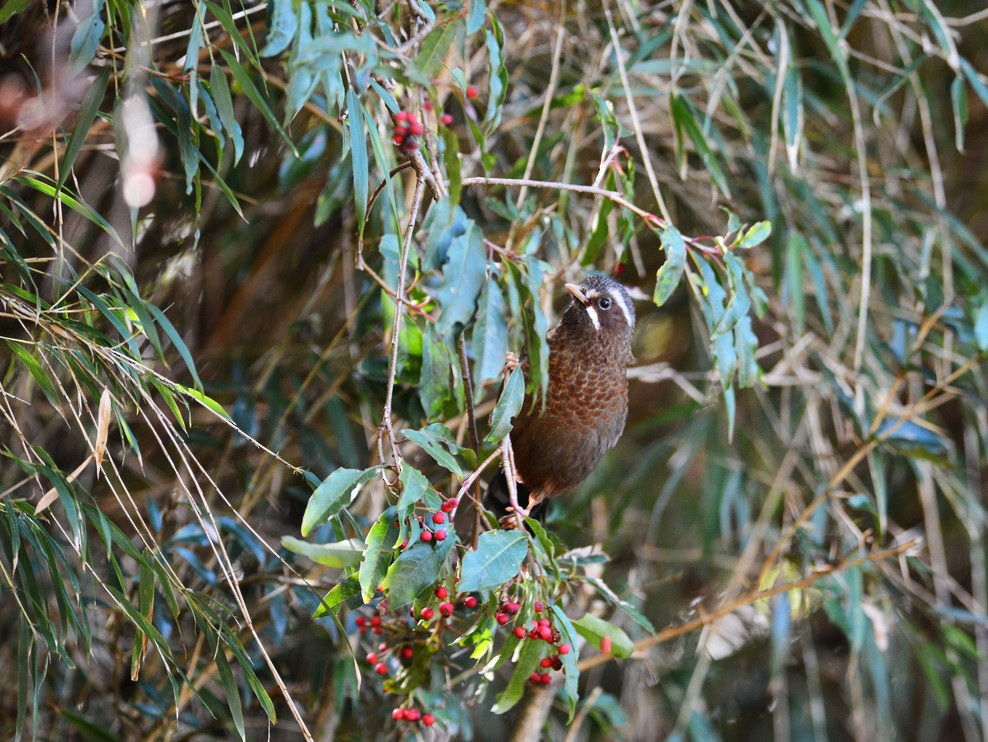 White-whiskered Laughingthrush - Kuan Chieh/貫捷 (Chuck) Hung/洪