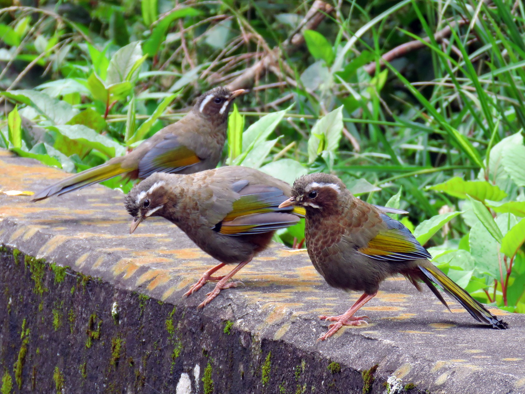 White-whiskered Laughingthrush - Donnie Tsui