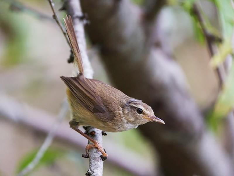 Brownish-flanked Bush Warbler - CHUAN-CHENG WANG