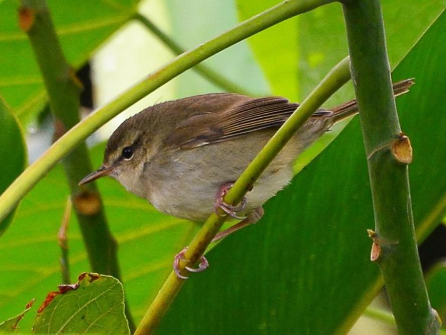 Brownish-flanked Bush Warbler - Ko Cheng