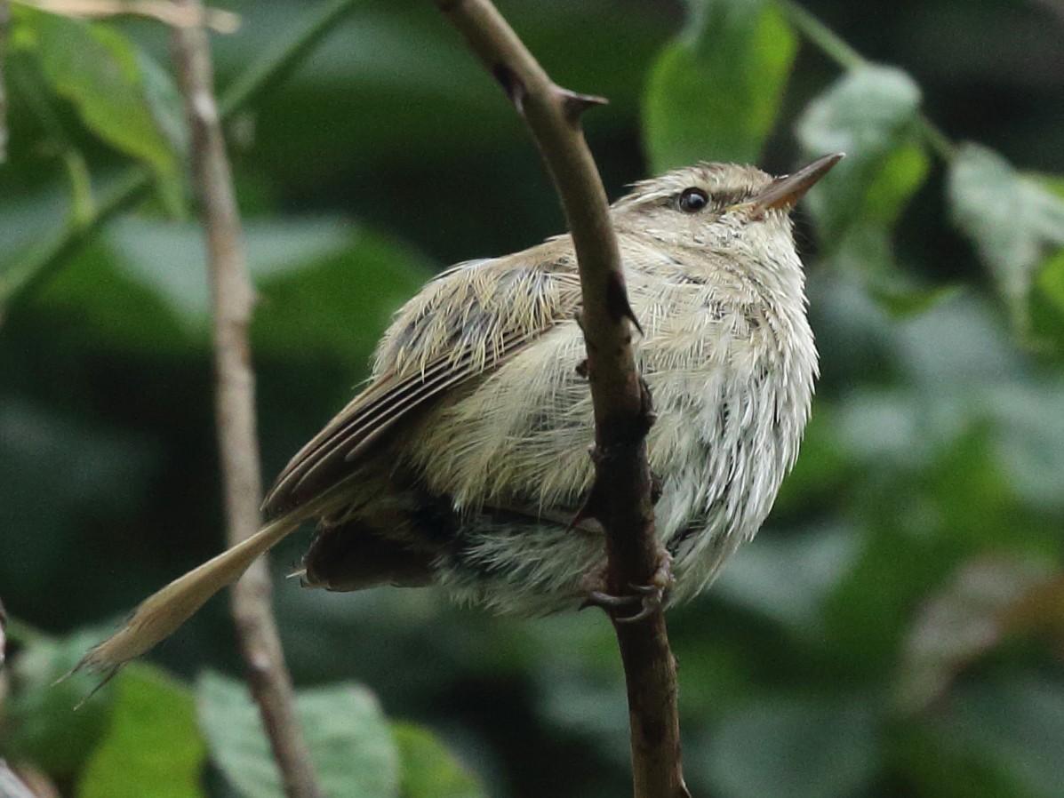 Brownish-flanked Bush Warbler - Rahul  Singh
