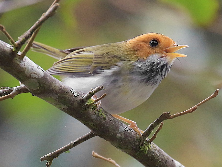 Rufous-faced Warbler - Ed Thomas