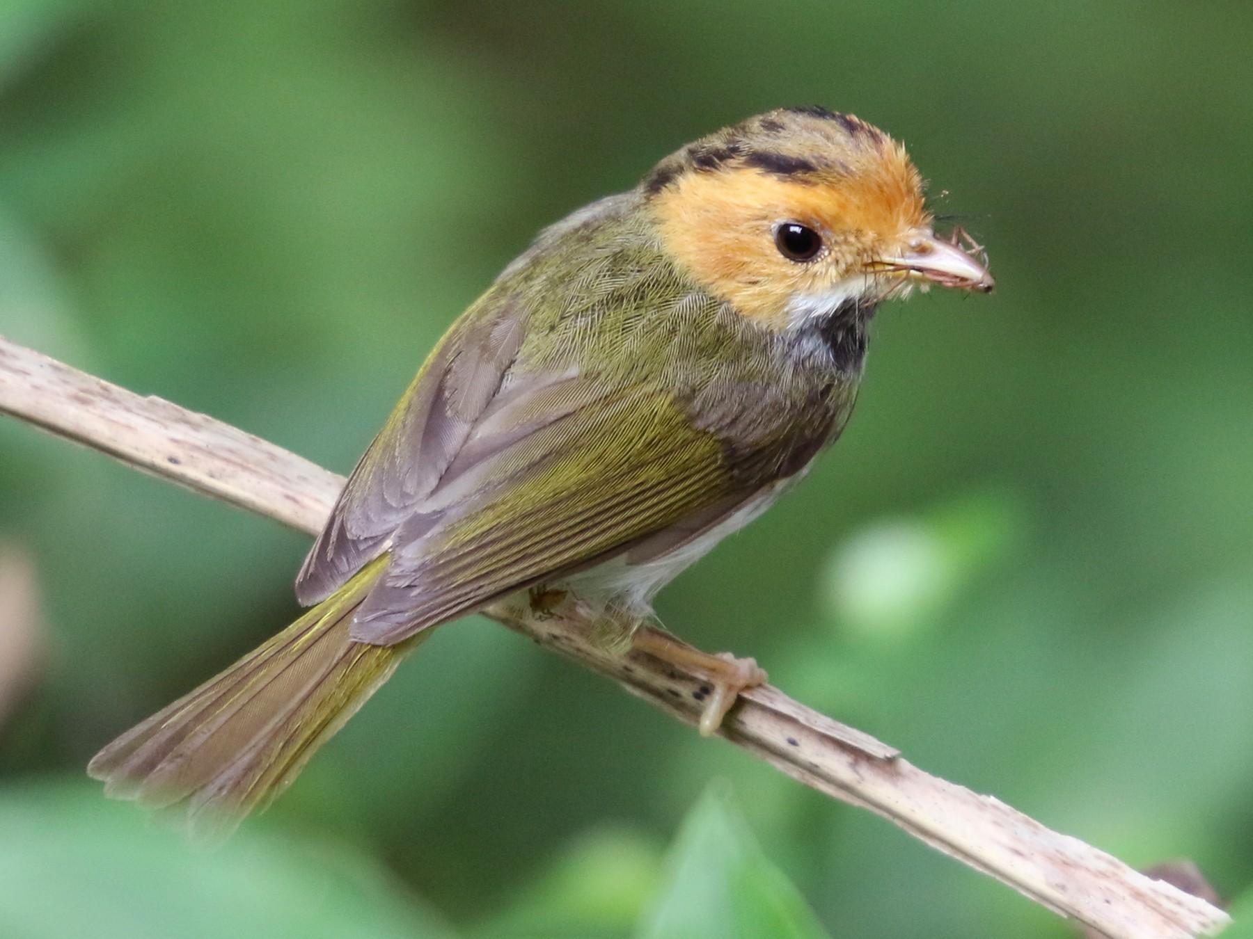 Rufous-faced Warbler - 任謙 黃