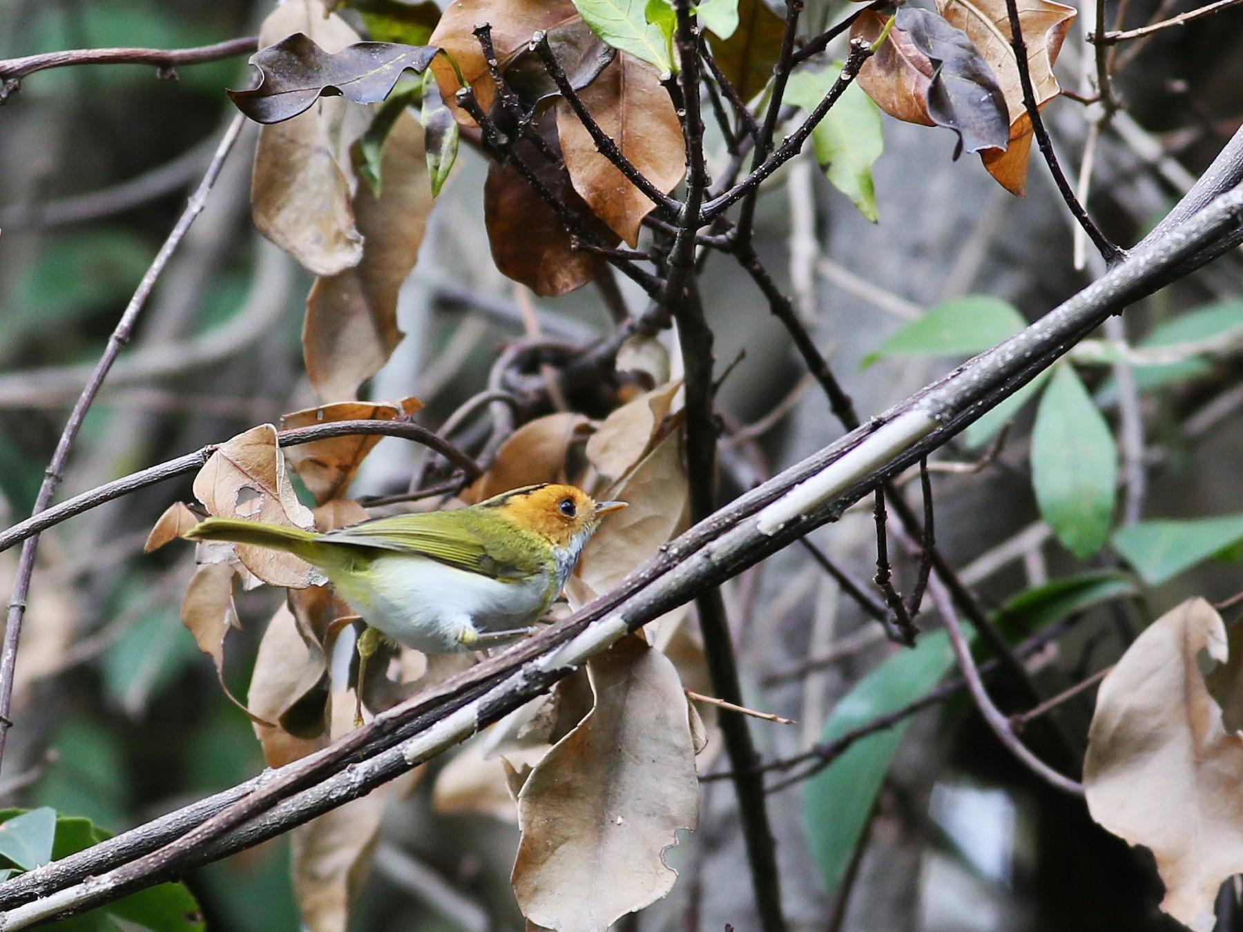 Rufous-faced Warbler - Ting-Wei (廷維) HUNG (洪)