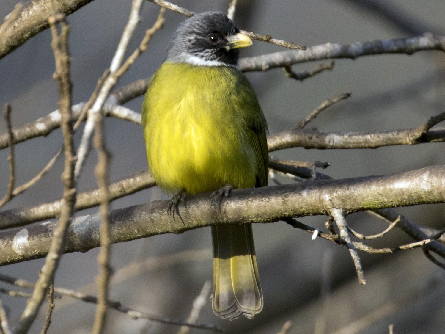 Collared Finchbill - Zongzhuang Sanderling Liu