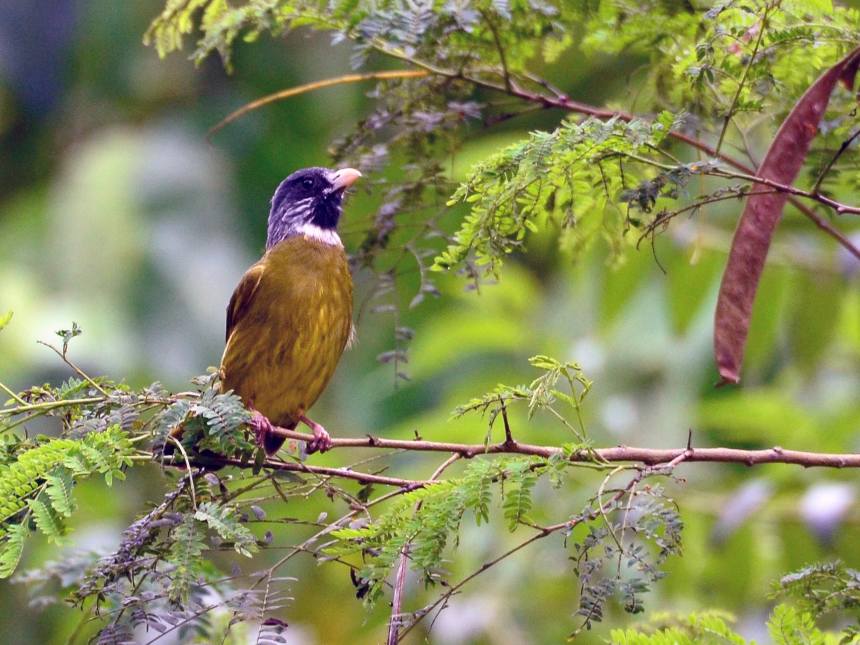 Collared Finchbill - Paul Shaffner