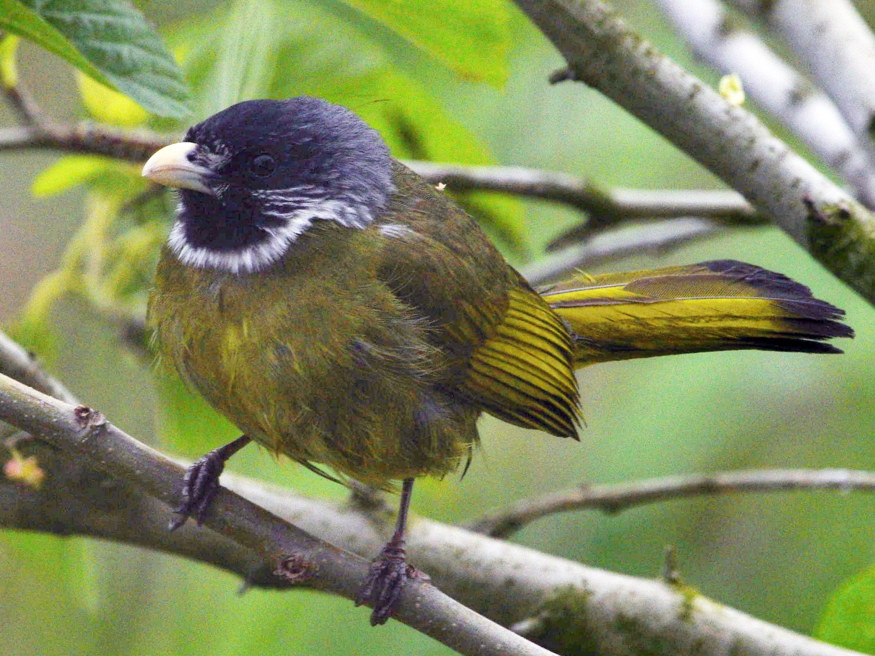 Collared Finchbill - Kai Pflug