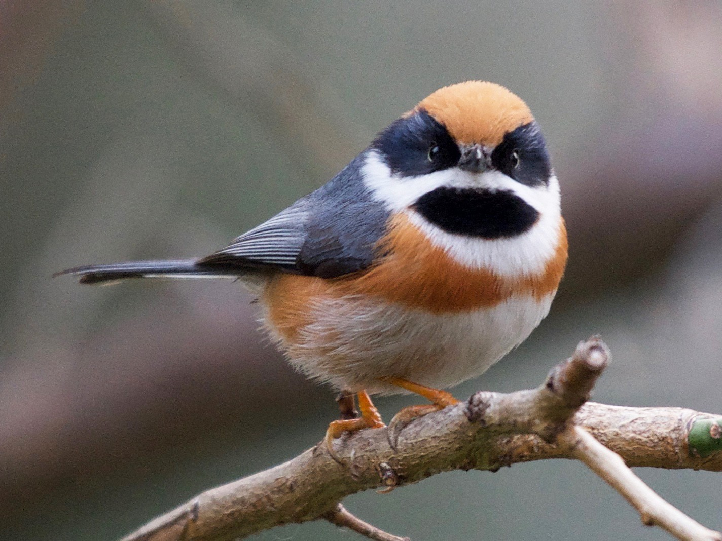 red throated tit