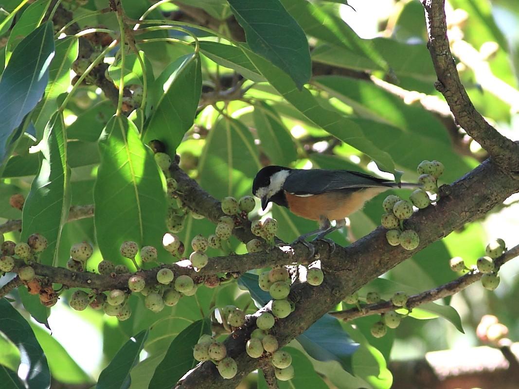Chestnut-bellied Tit - Zhi-Yuan Cai