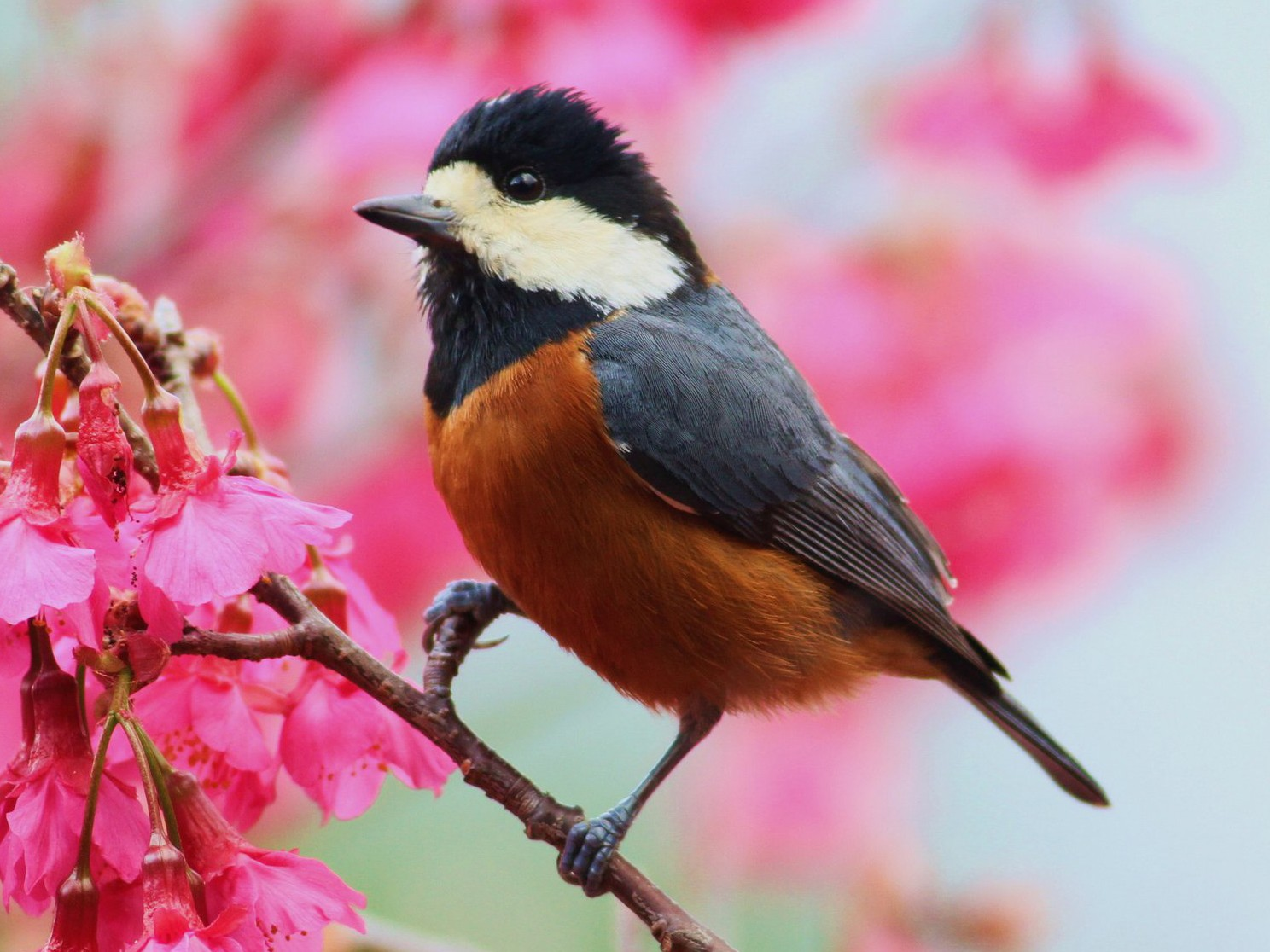Chestnut-bellied Tit - Ting-Wei (廷維) HUNG (洪)