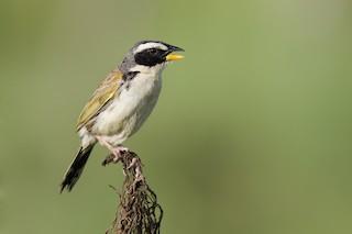 - Black-masked Finch