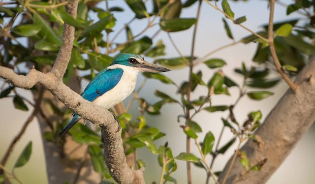 Collared Kingfisher (Oriental)
