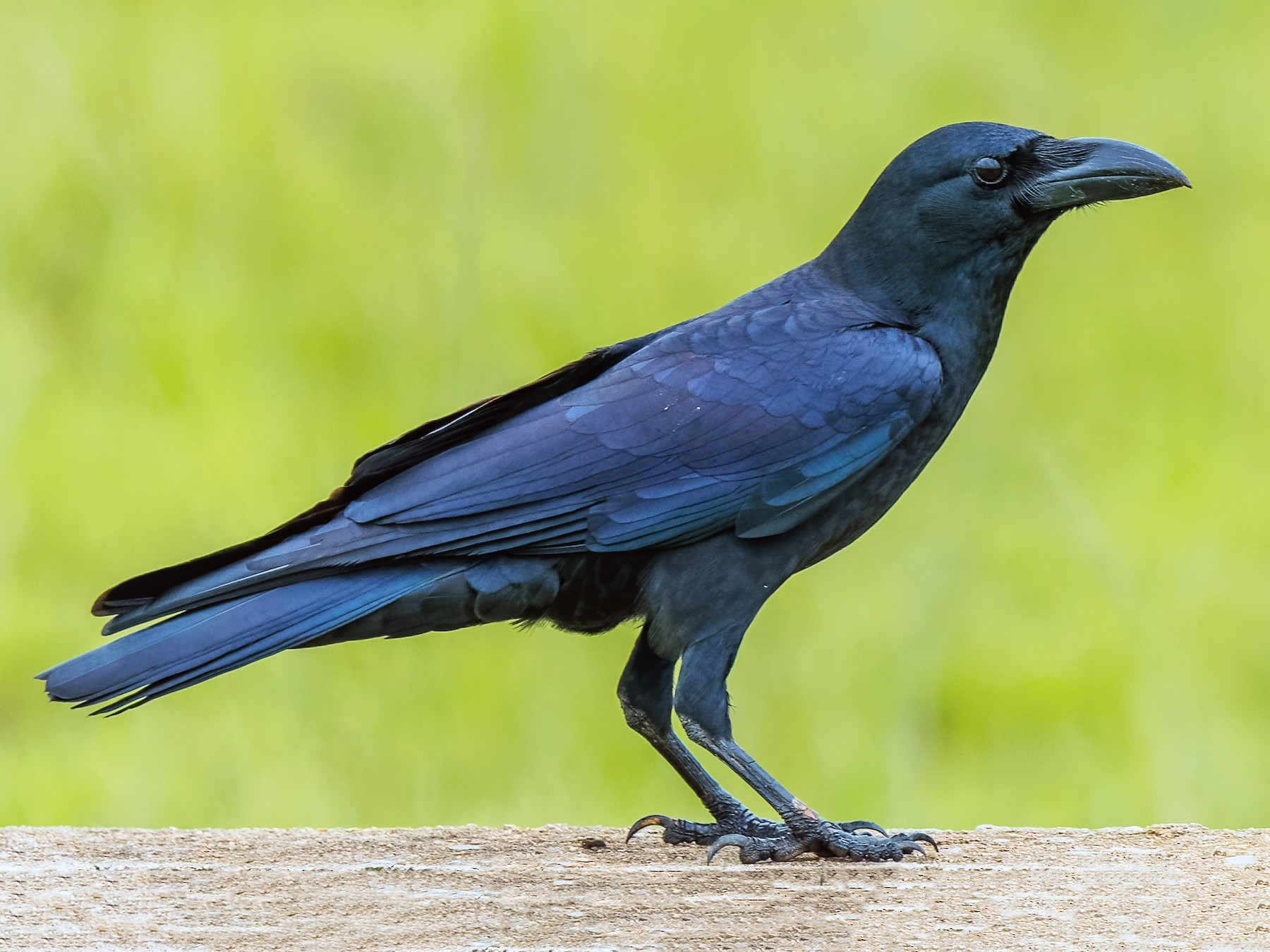 Large-billed Crow - Amit Kher