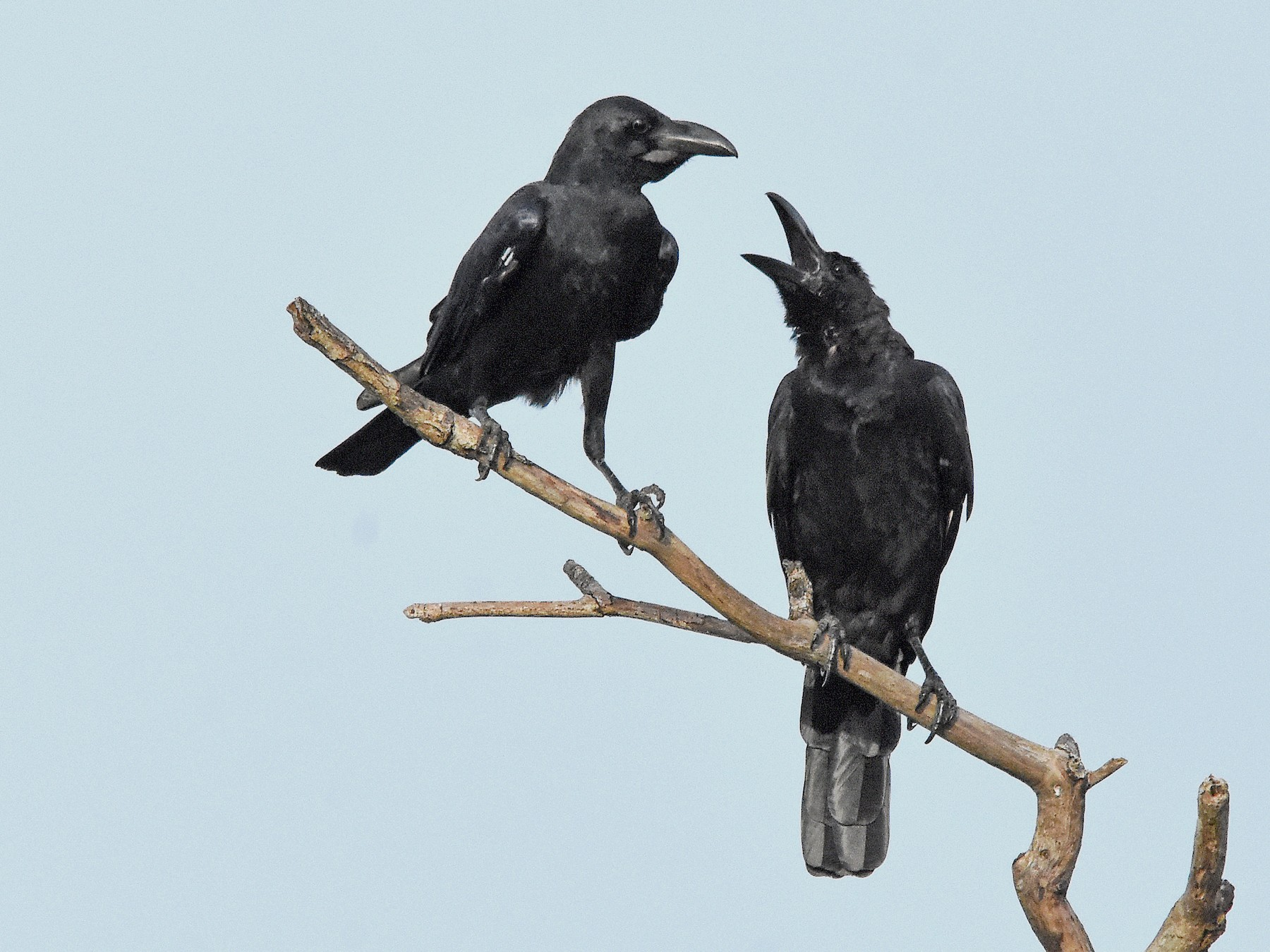 Large-billed Crow - Geoffrey Groom