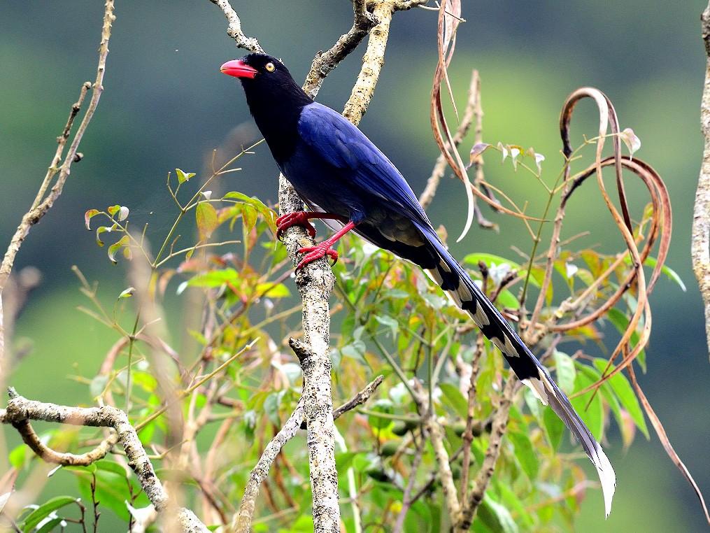 Taiwan Blue-Magpie - 文傑 CHUNG