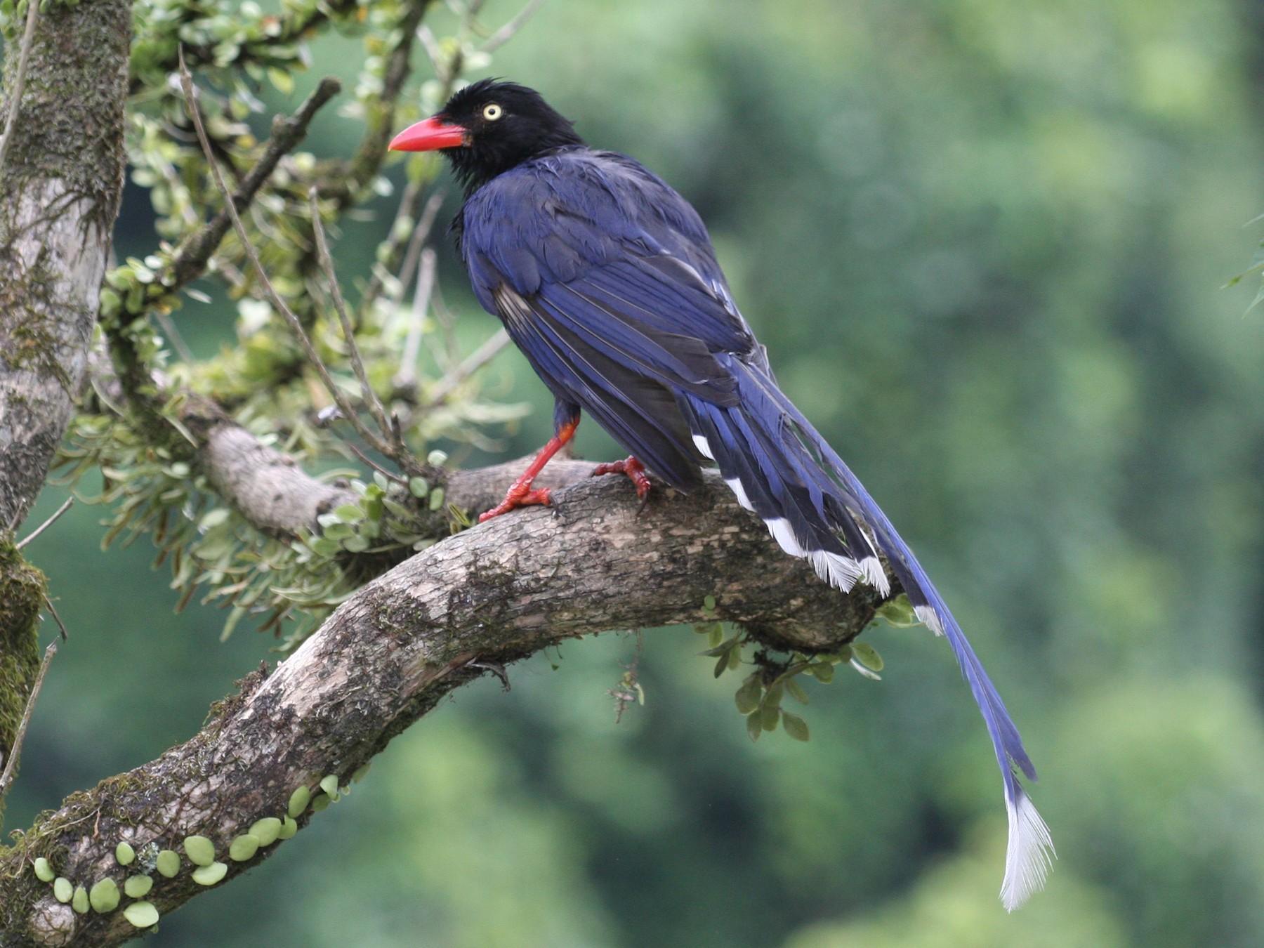 Taiwan Blue-Magpie - Wayne Hsu