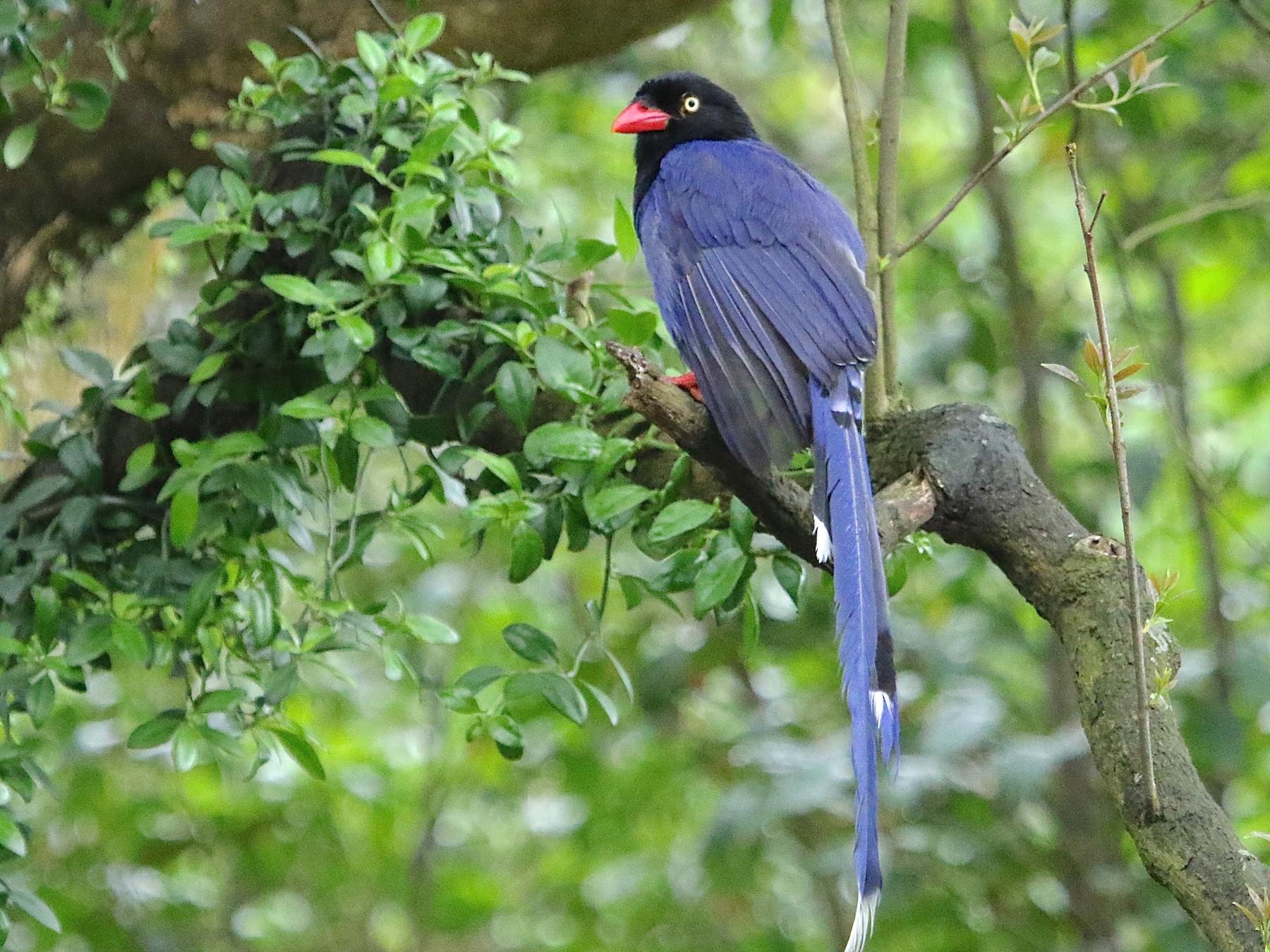 Taiwan Blue-Magpie - Gil Ewing