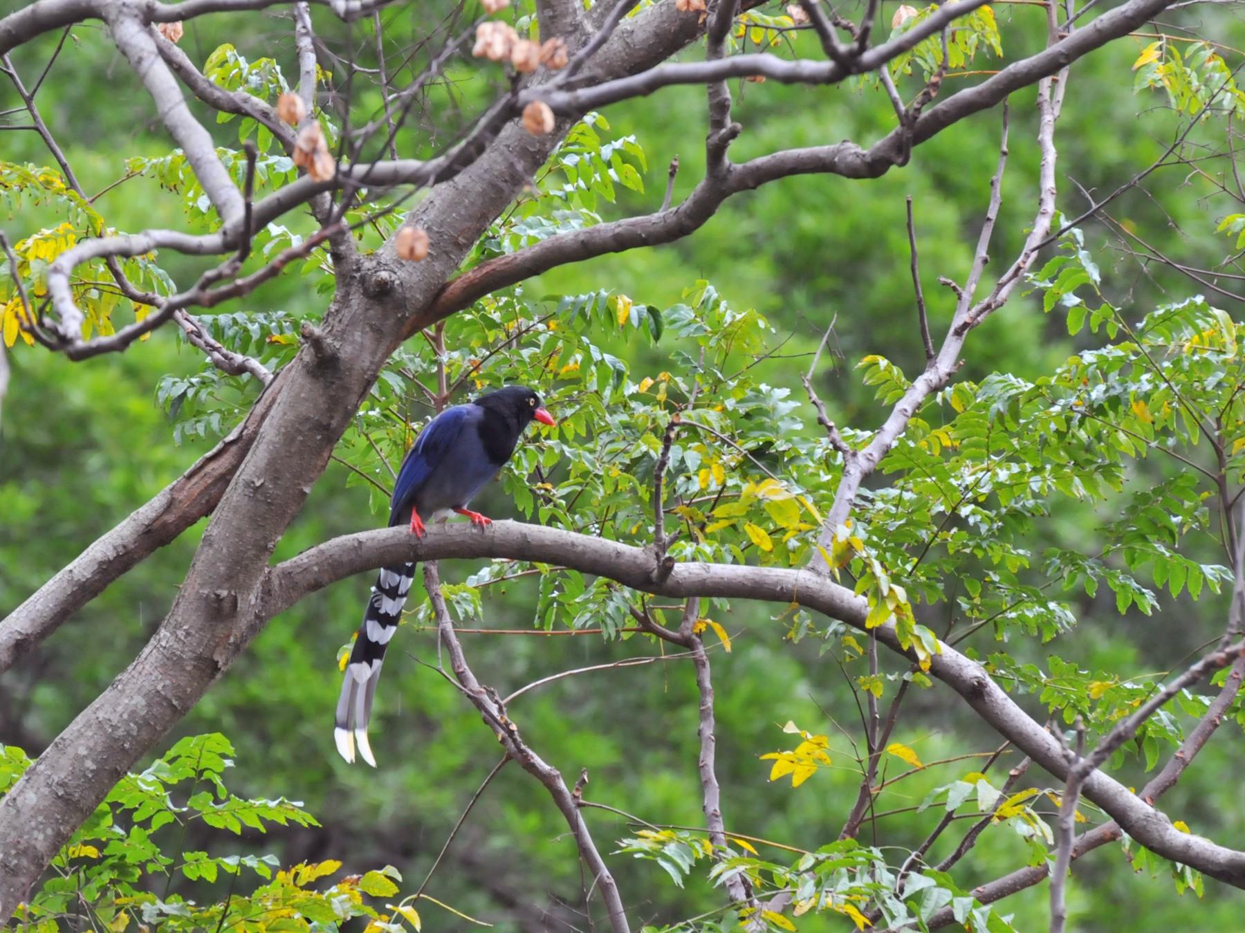 Taiwan Blue-Magpie - Cheng-Ru Tsai