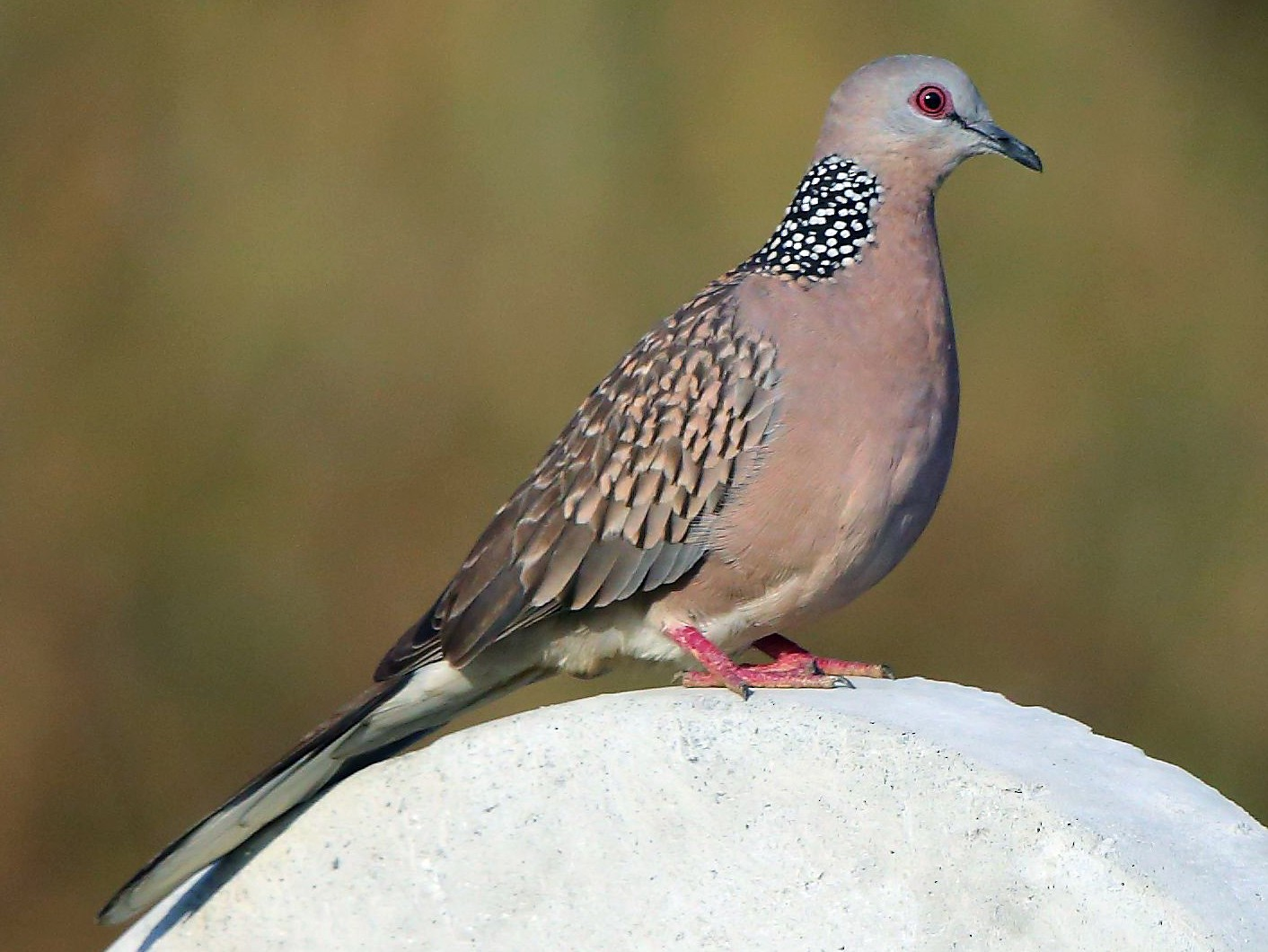 Spotted Dove - Albin Jacob
