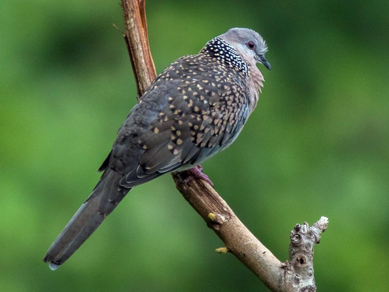 Spotted Dove - Phani krishna Ravi