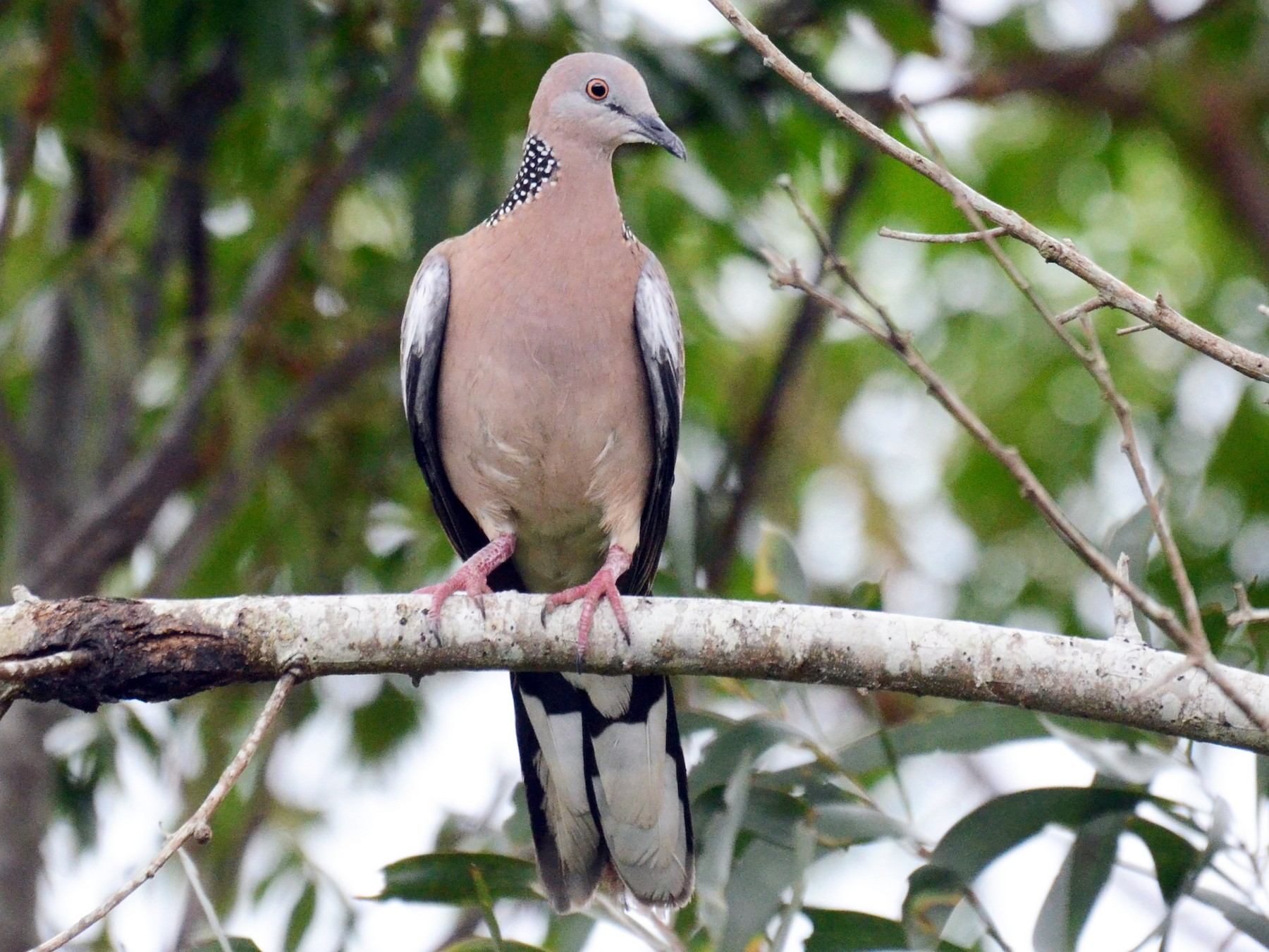 Spotted Dove - Stephen Haase