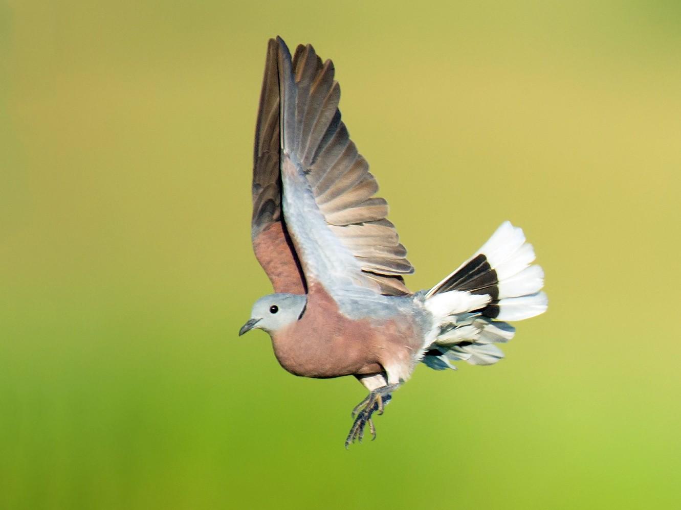 Red Collared-Dove - Craig Brelsford