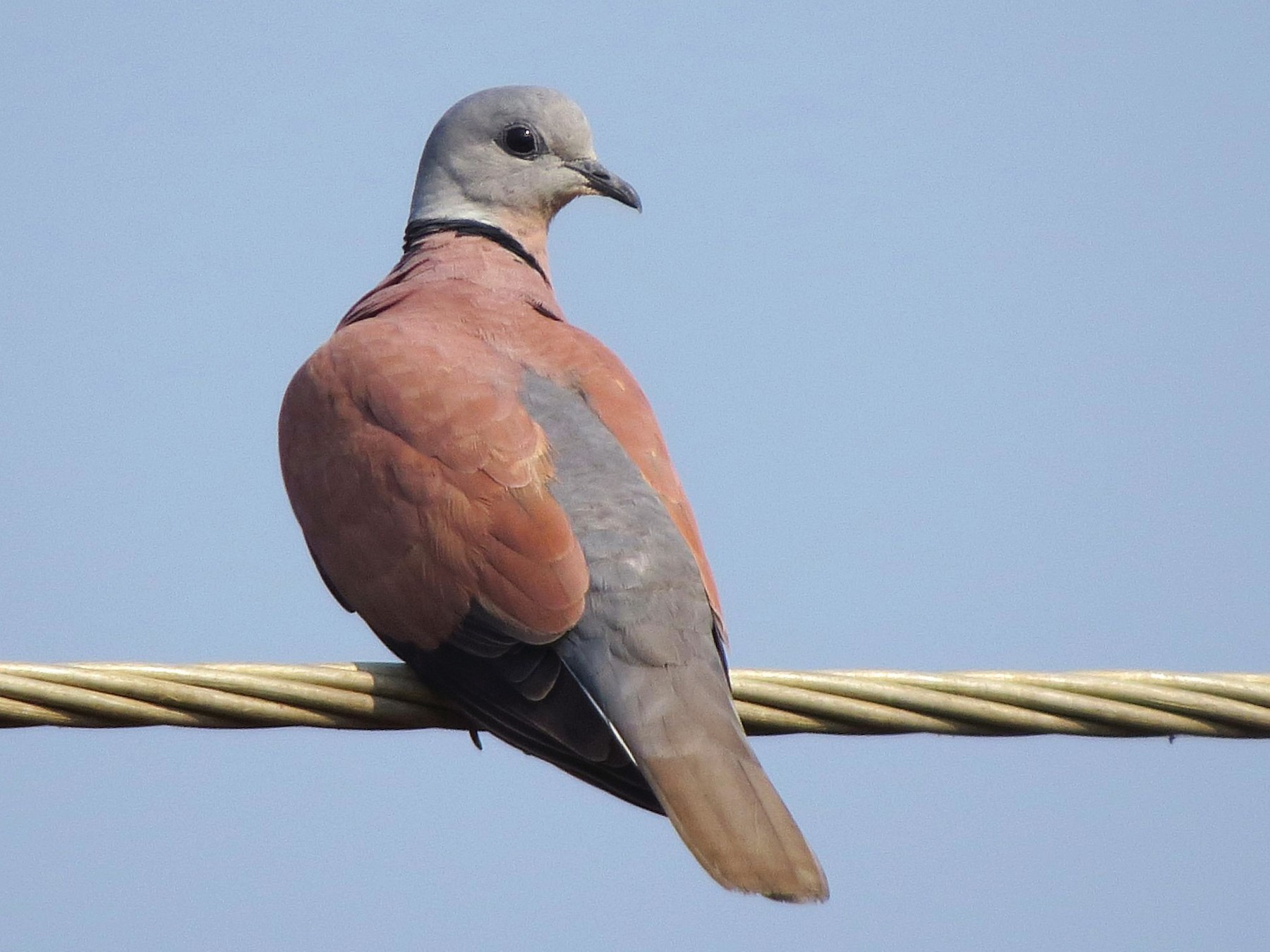 Red Collared-Dove - Abhinand C