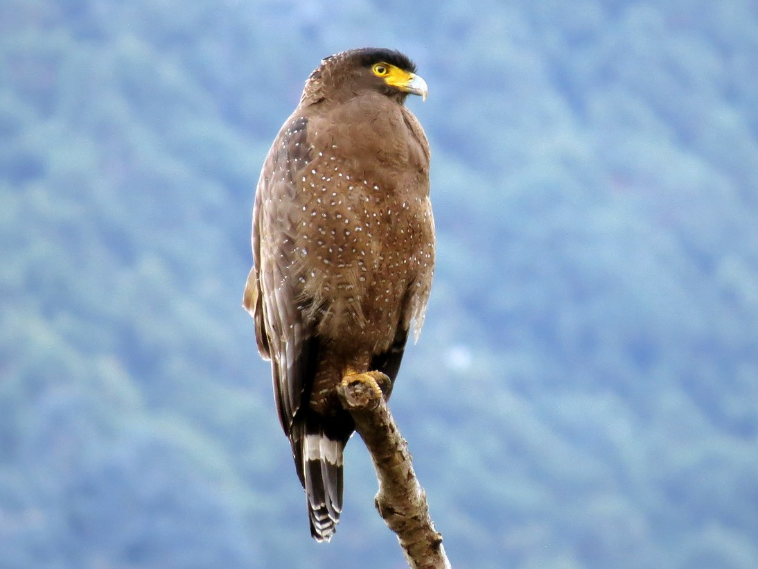 Crested Serpent-Eagle - Donnie Tsui