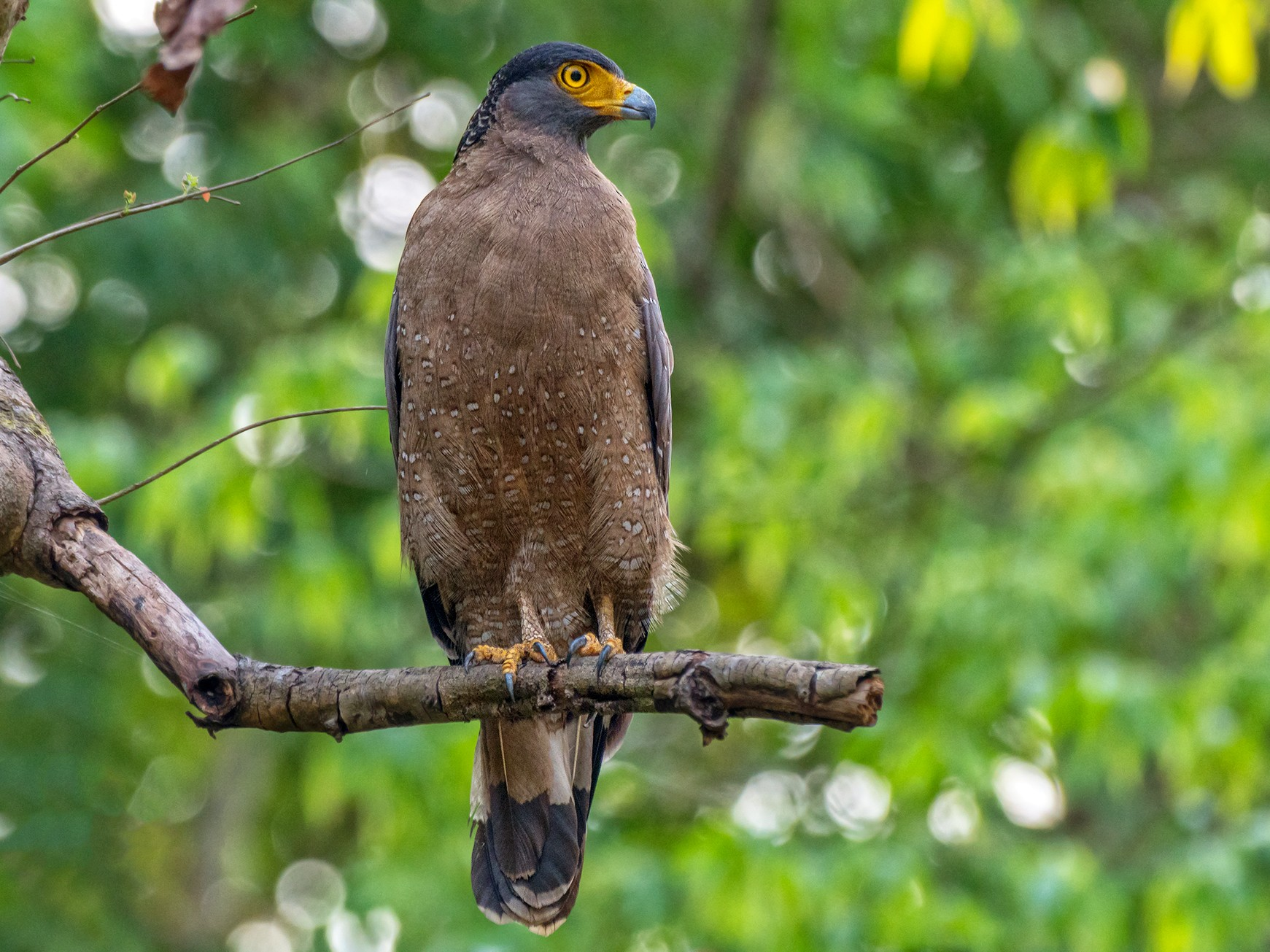Crested Serpent-Eagle - Prasanna Kumar Mamidala