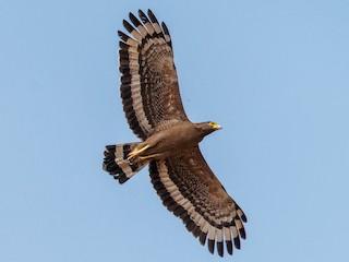 - Crested Serpent-Eagle