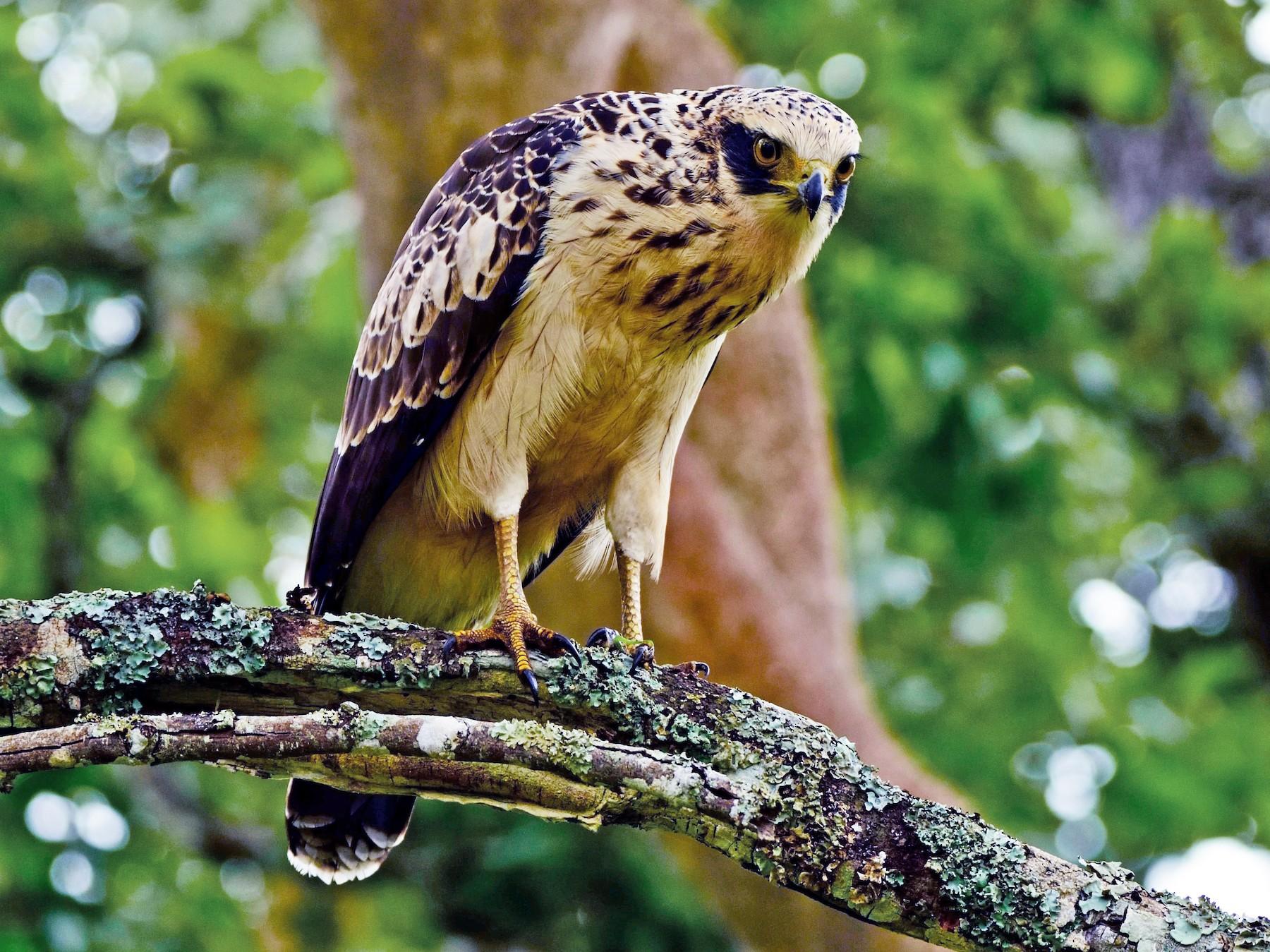 Crested Serpent-Eagle - Prashobh Ailyam Nair