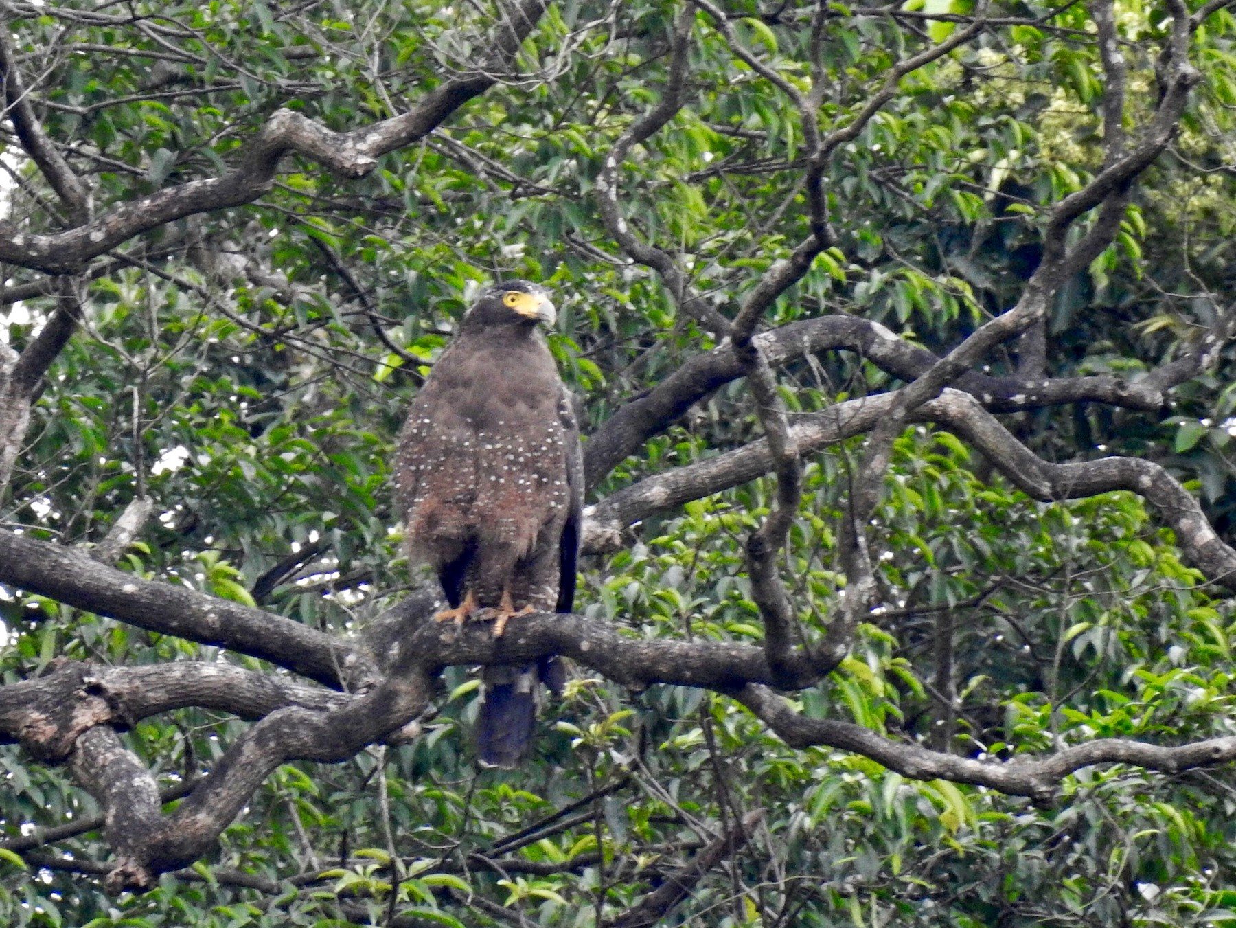 Crested Serpent-Eagle - SJ Shyong