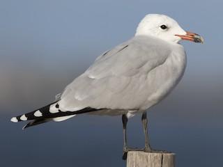 - Audouin's Gull