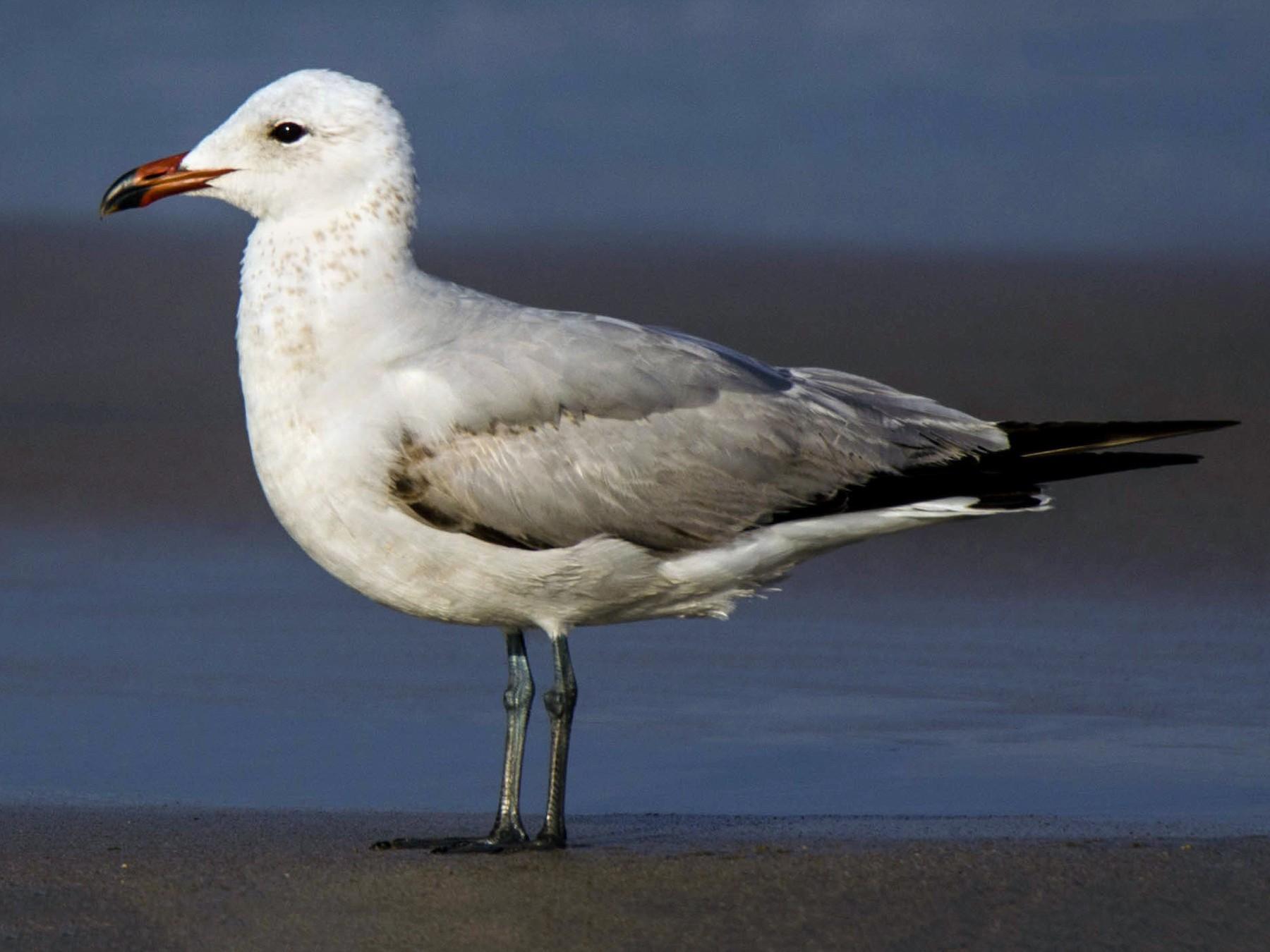 Audouin's Gull - José Marques