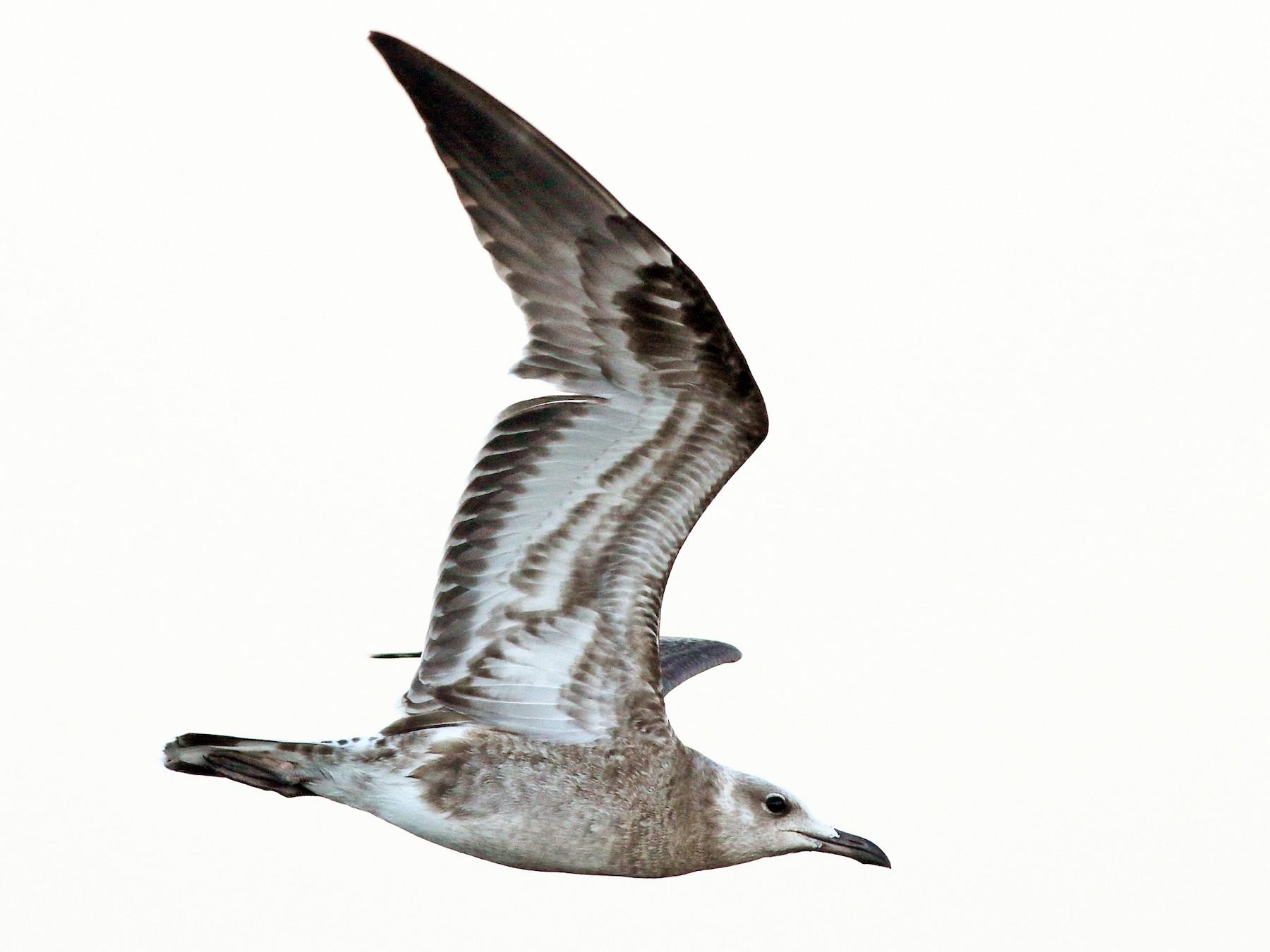 Audouin's Gull - Sérgio Correia