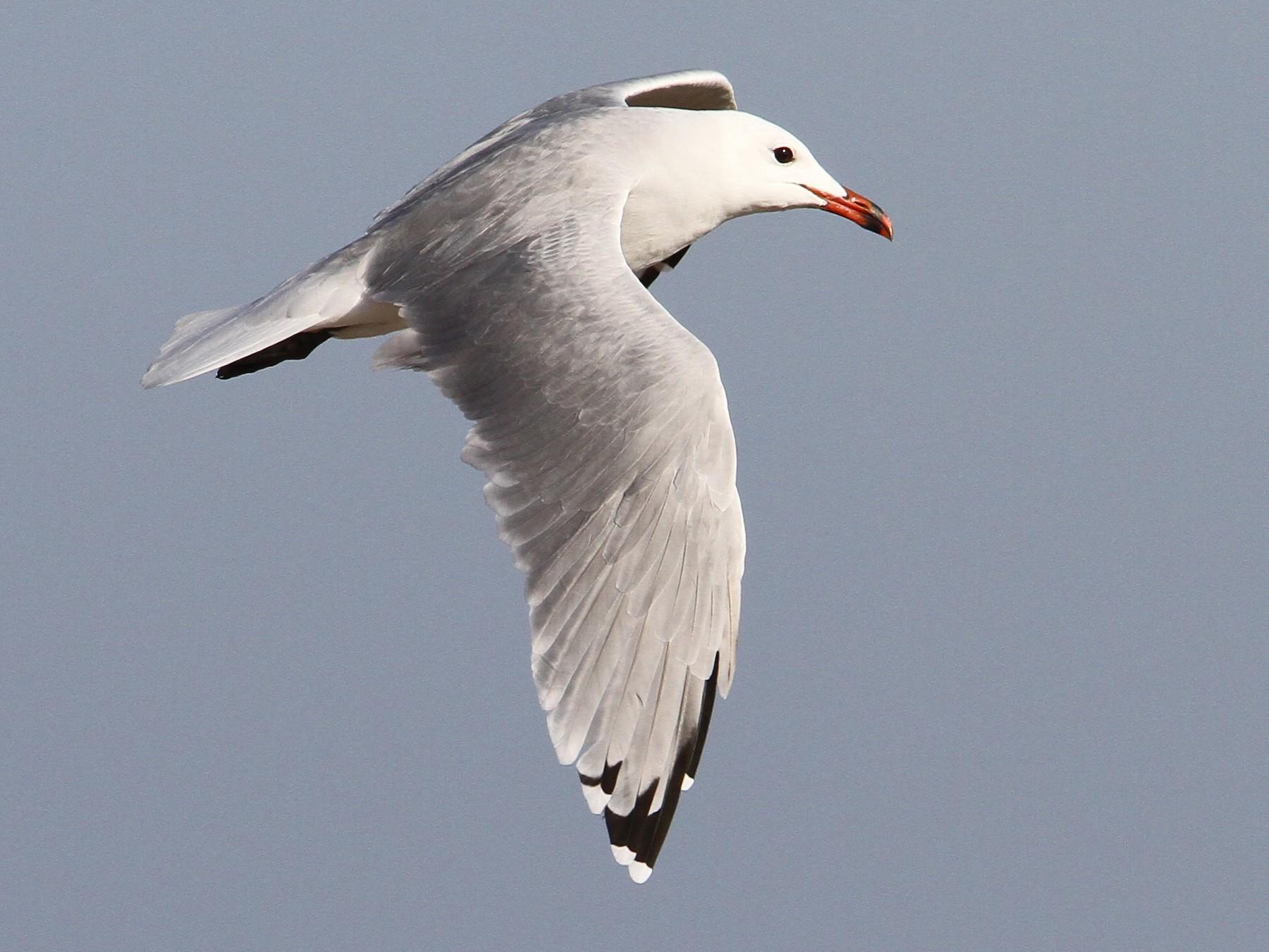 Audouin's Gull - Christoph Moning