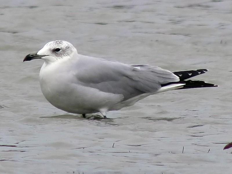 Audouin's Gull - Cédric Mroczko