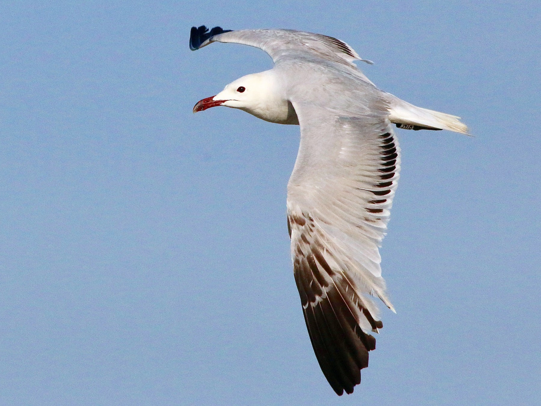 Audouin's Gull - Karl Overman