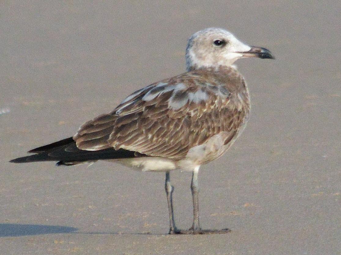 Audouin's Gull - Mário Estevens