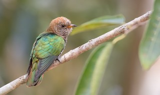 - Asian Emerald Cuckoo