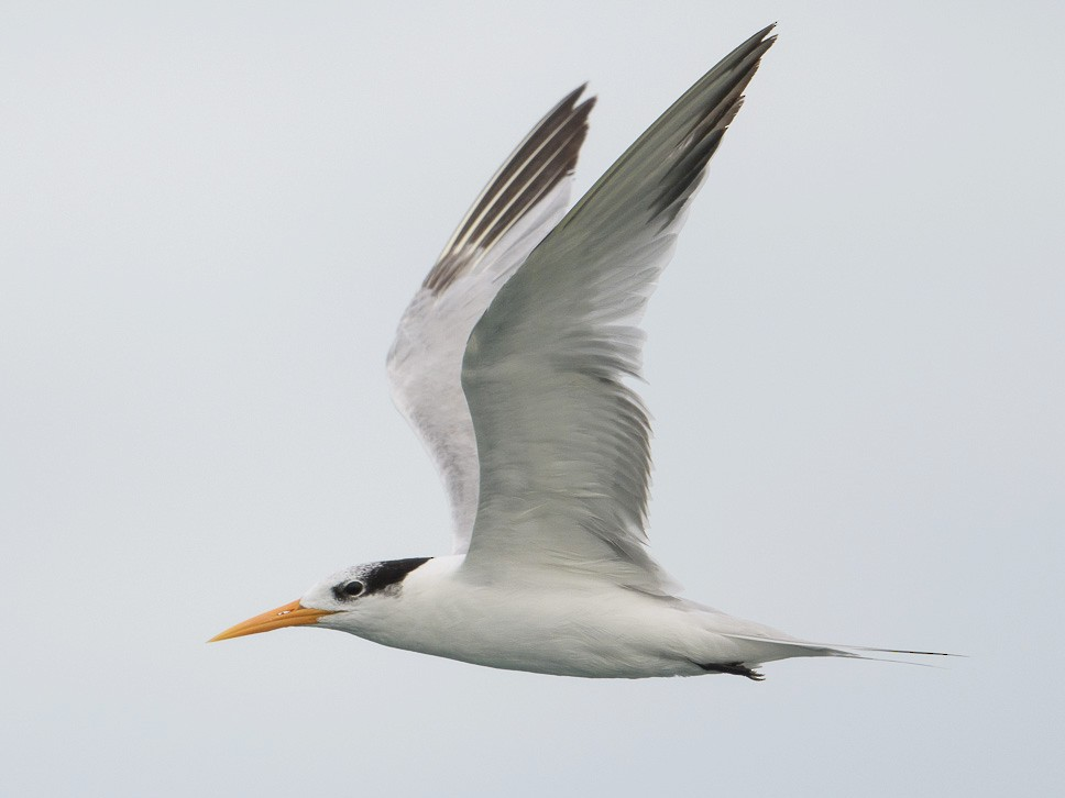 Lesser Crested Tern - Francis Yap