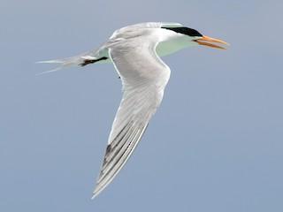 - Lesser Crested Tern